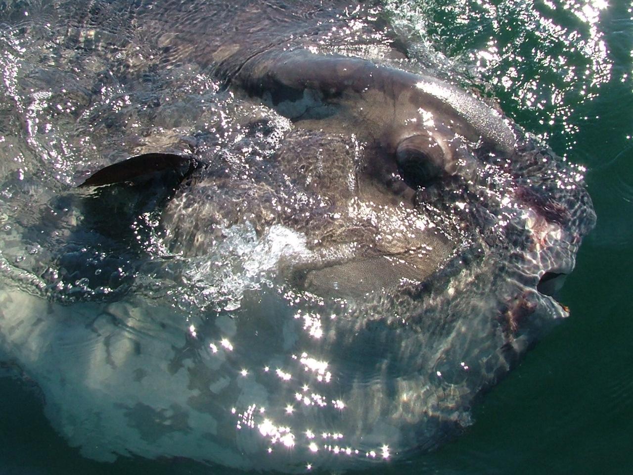 sunfish_surfacing