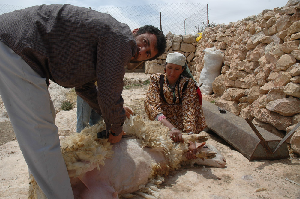 Shaving a sheep in Qawawis