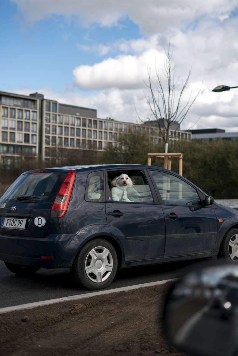 A dog is looking out of a car window in a traffic jam Frankfurt.