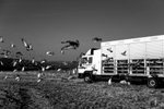 Hundreds of racing pigeons are leaving a truck in Altenglan in Rhineland-Palatinate and are headed towards the German Taunus Region. Pigeon breeding created street pigeons in the first place. Cities' pigeon populations are increased by racing pigeons and other bred specimen that get disoriented and do not find their way back to their dens.