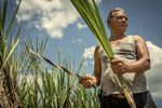 Cuban farmer harvesting sugar cane for rum production