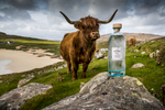 highland cow takes a sniff of a bottle of Harris gin on Husinis beach