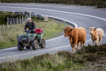 Man on an ATB quadbike moving highland cattle down a main road on the isle of Harris.