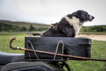 a working collie dog sits on the back of a quadbike. Farmers sheepdog on the back of a quad bike with a fshepherds crook.