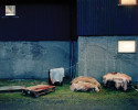 Sheepskins sit outside a slaughterhouse.