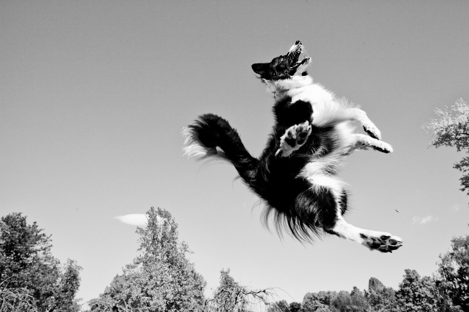 Lyra airborne during her leap to catch a pine cone in Tivoli park in Ljubljana, Slovenia, October 14, 2011.