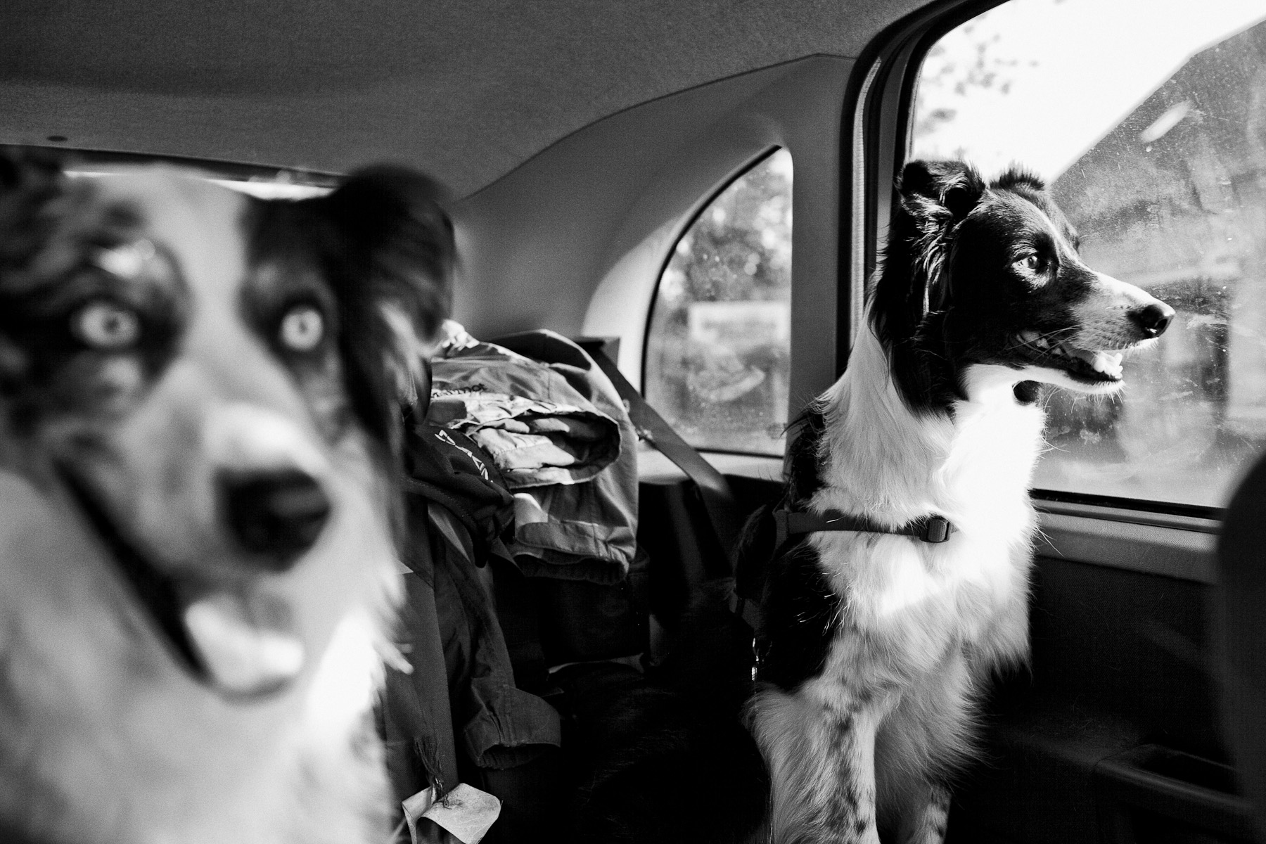 Lyra and Oli watch the passing Czech landscape on their way to a frisbee competition. Lyra still tries to catch a passing car sometimes. June 3, 2011.