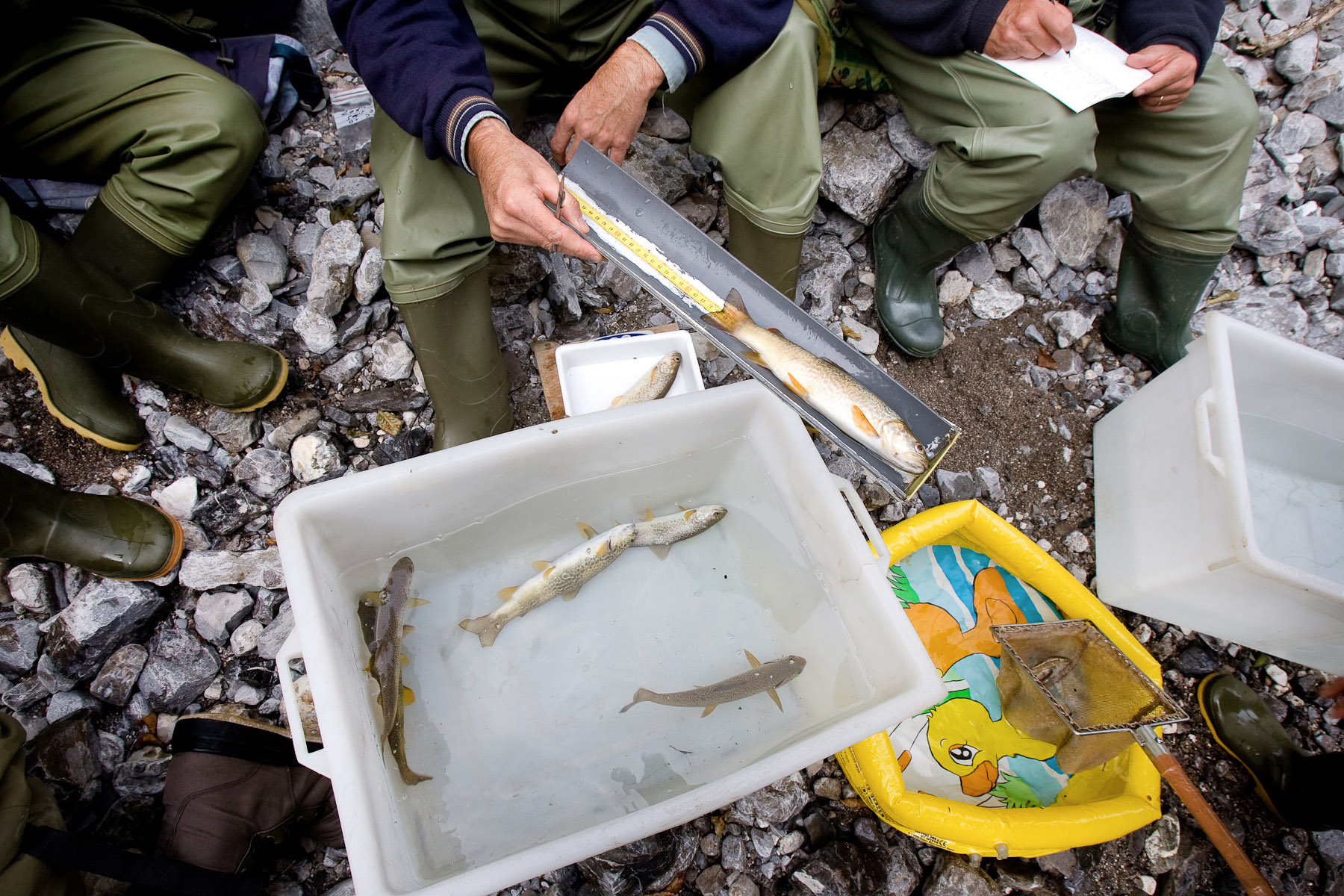 A team of scientists and fishkeepers examine pure Marble trout in Zadlaščica stream, the original stream known to contain genetically pure Marble trout. Monitoring is crucial to determine their demographics.