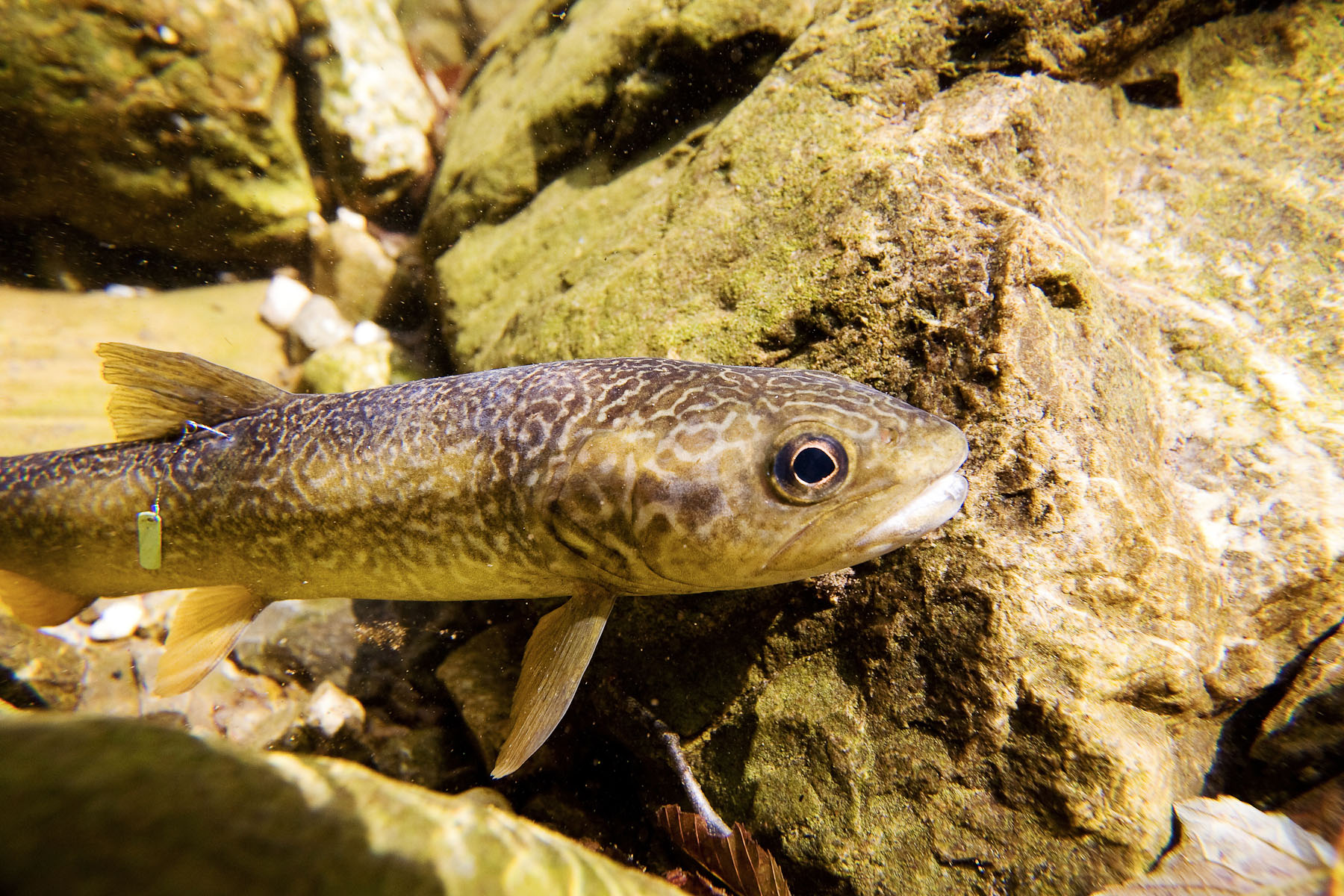 The pure Marble trout are tagged to indicate their number, where they are from and even which sector of the stream they are from to see how these fish migrate in their own streams.