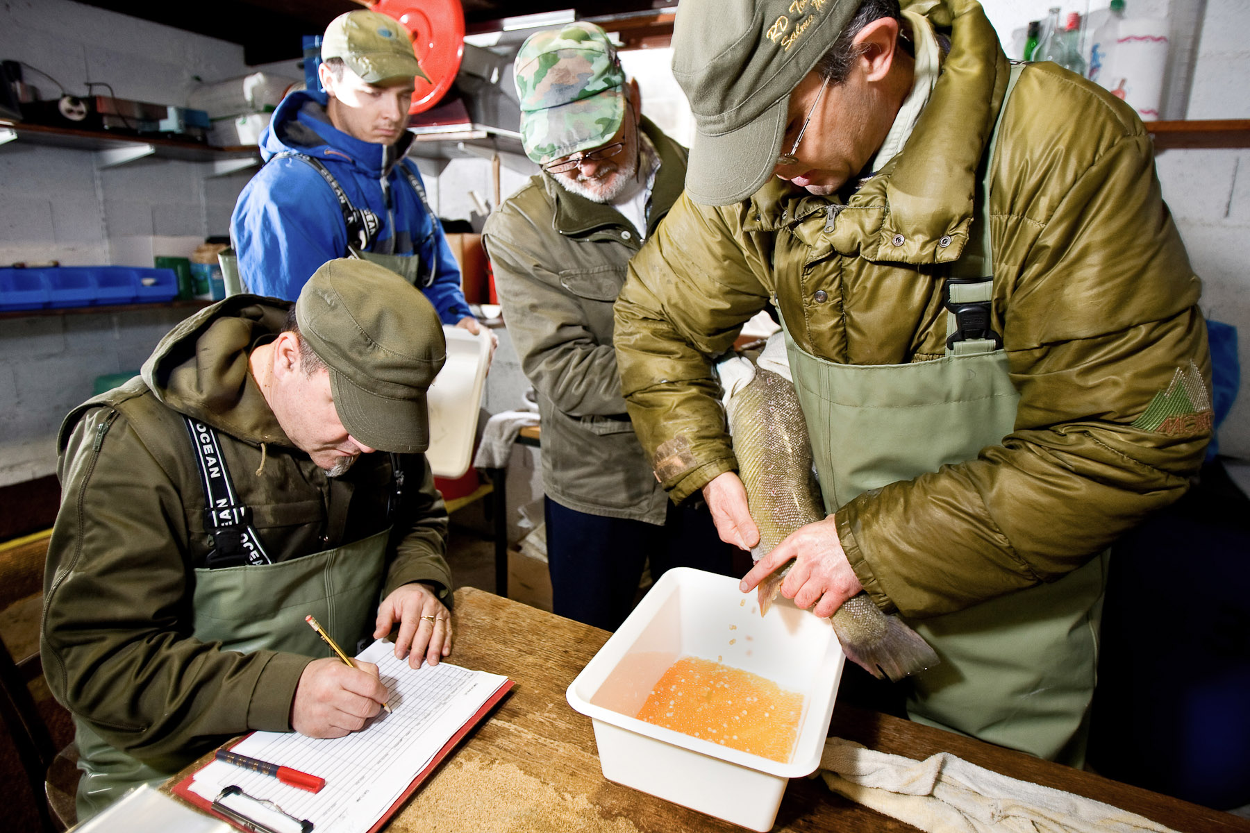 From left, Robert Sveticic, John Zablocki, Zoran Kocic and Dusan Jesensek extract fish eggs from an adult female Marble trout in the Tolminka fish farm. An adult female Marble trout can produce up to 4000 fish eggs, but the avarage is just over a thousand.