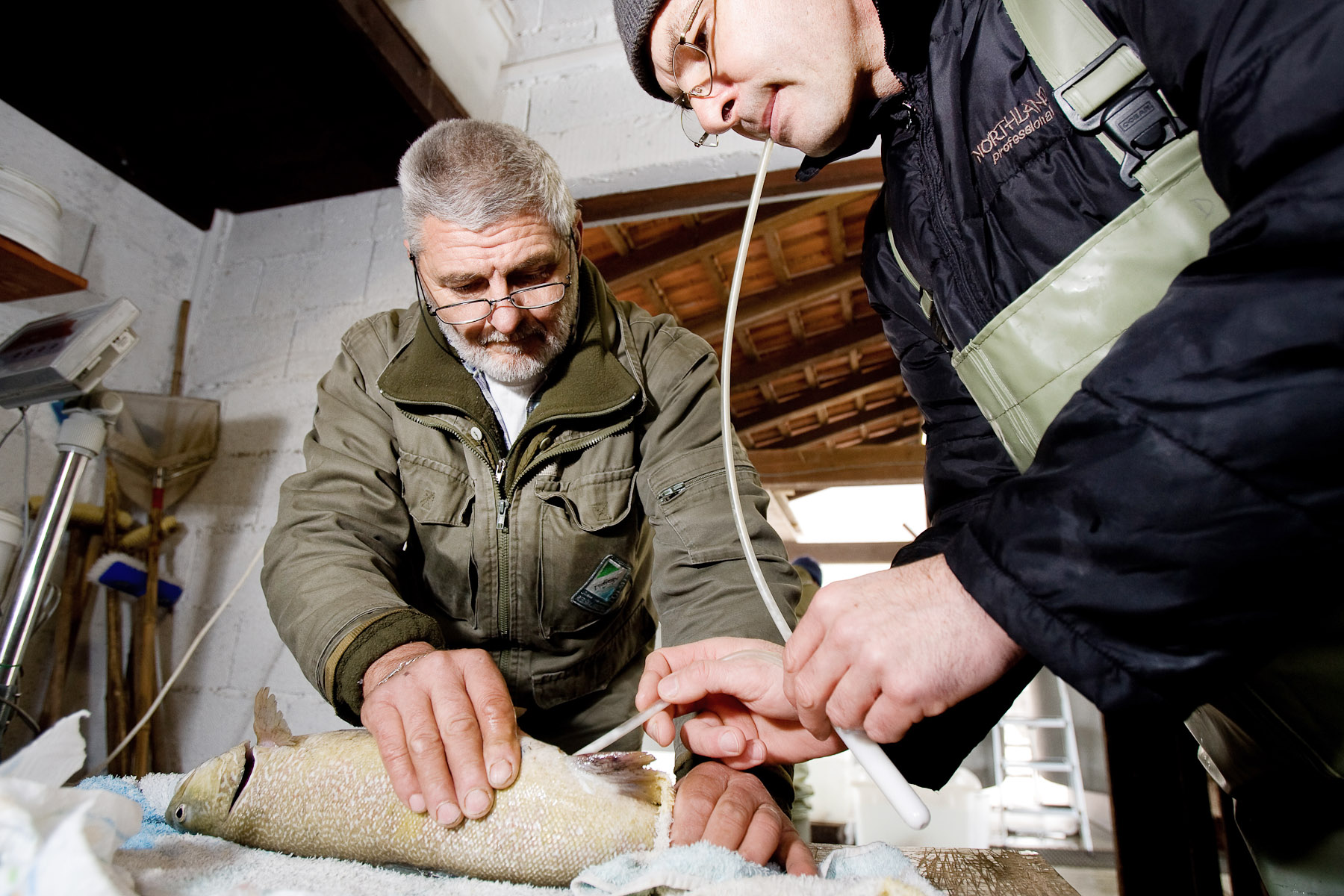 Dušan Jesenšek extracts semen from an adult male Marble trout in the Tolmin fish farm. When they later fertilize the eggs, they use semen from several males fish to ensure successful spawning.