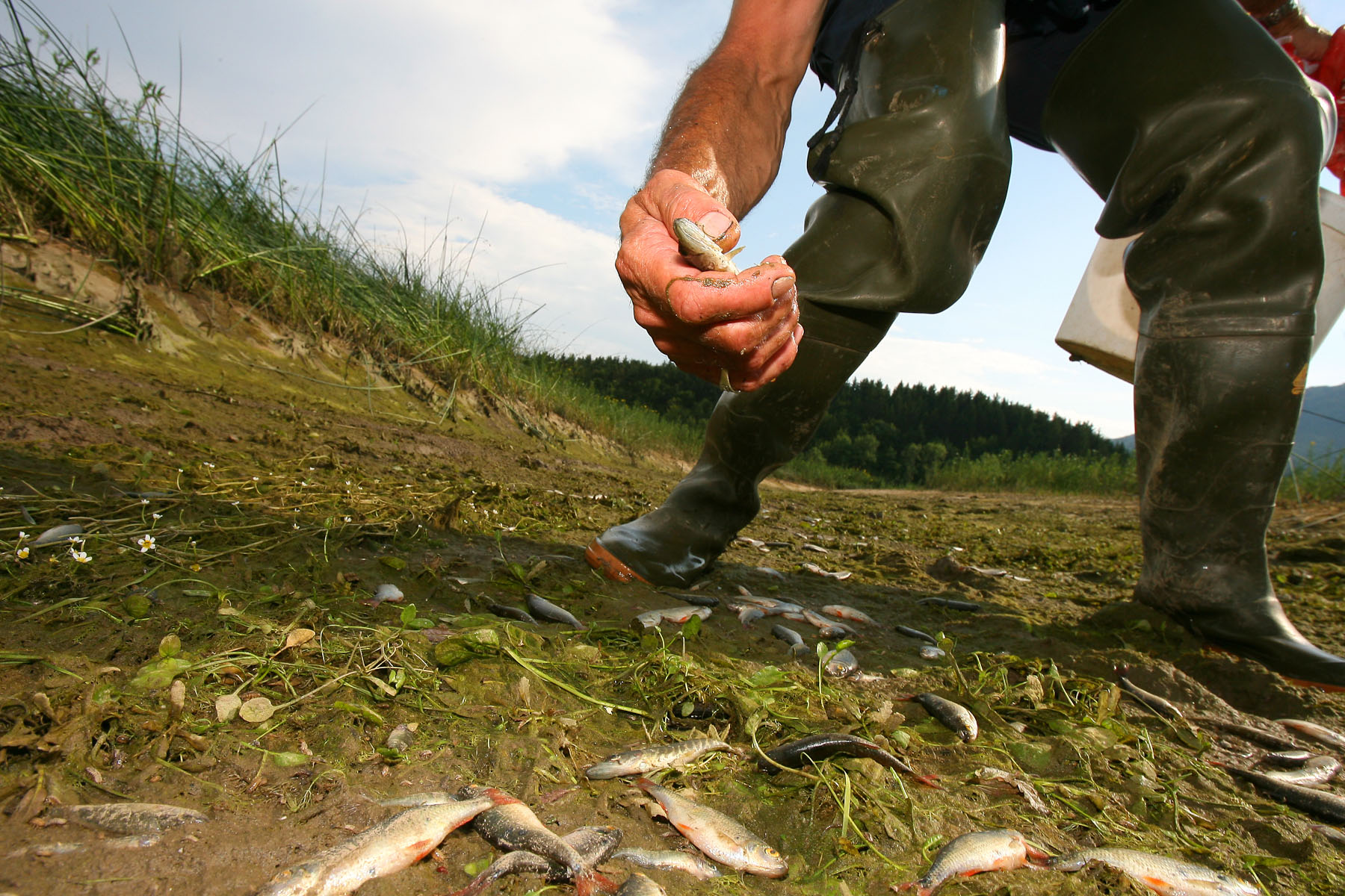Jože Šparemblek picks up the potentially alive small pike along the Bečki riverbed. Eventually, a great number of fish dies. Mostly rudds, which are too plenty anyway and regenerate immediately. But many young pikes die as well, because pikes tend to spawn in the months that the lake usually dries out.