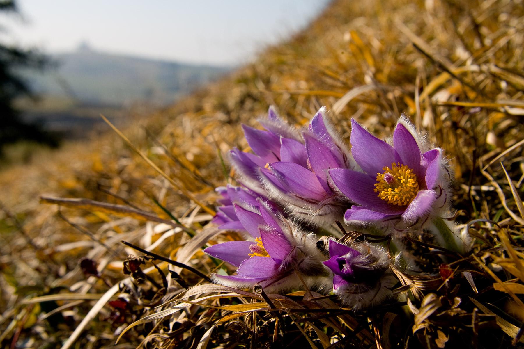 Velikonočnica (grows on Boč)
