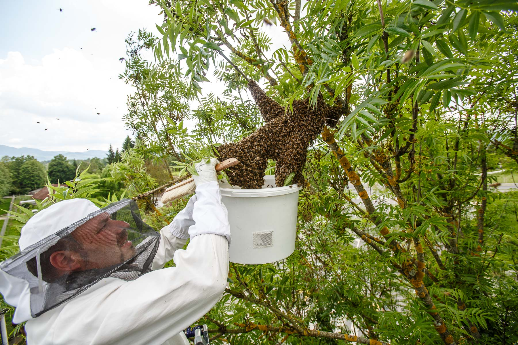 Trušnovec removes a runaway swarm from a treetop by droping as many bees into a bucket, hoping to trap the queen and make the rest of the bees follow. In picking up swarms he often needs help of local fire departments that provide a ladder.