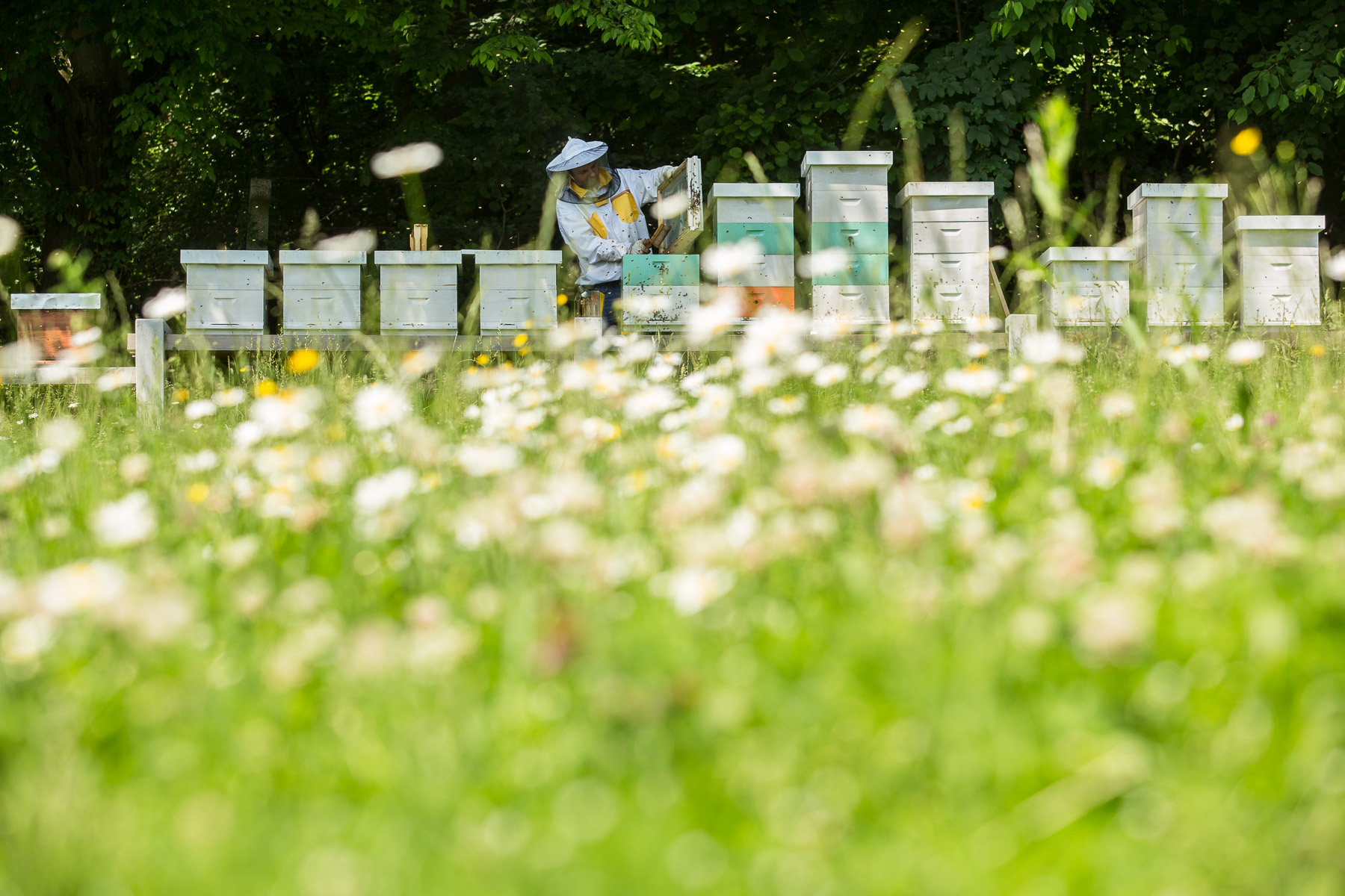 Urban Beekeeper Damir Škraban inspects the beehives located in the Tivoli Park in Ljubljana, next to a meadow full of flowers.