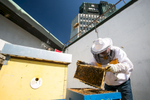 Urban beekeeper Franc Petrovčič inspects beehives on the rooftop of the Cankarjev dom cultural and congress center. In 2008, these were the first rooftop beehives in Ljubljana.