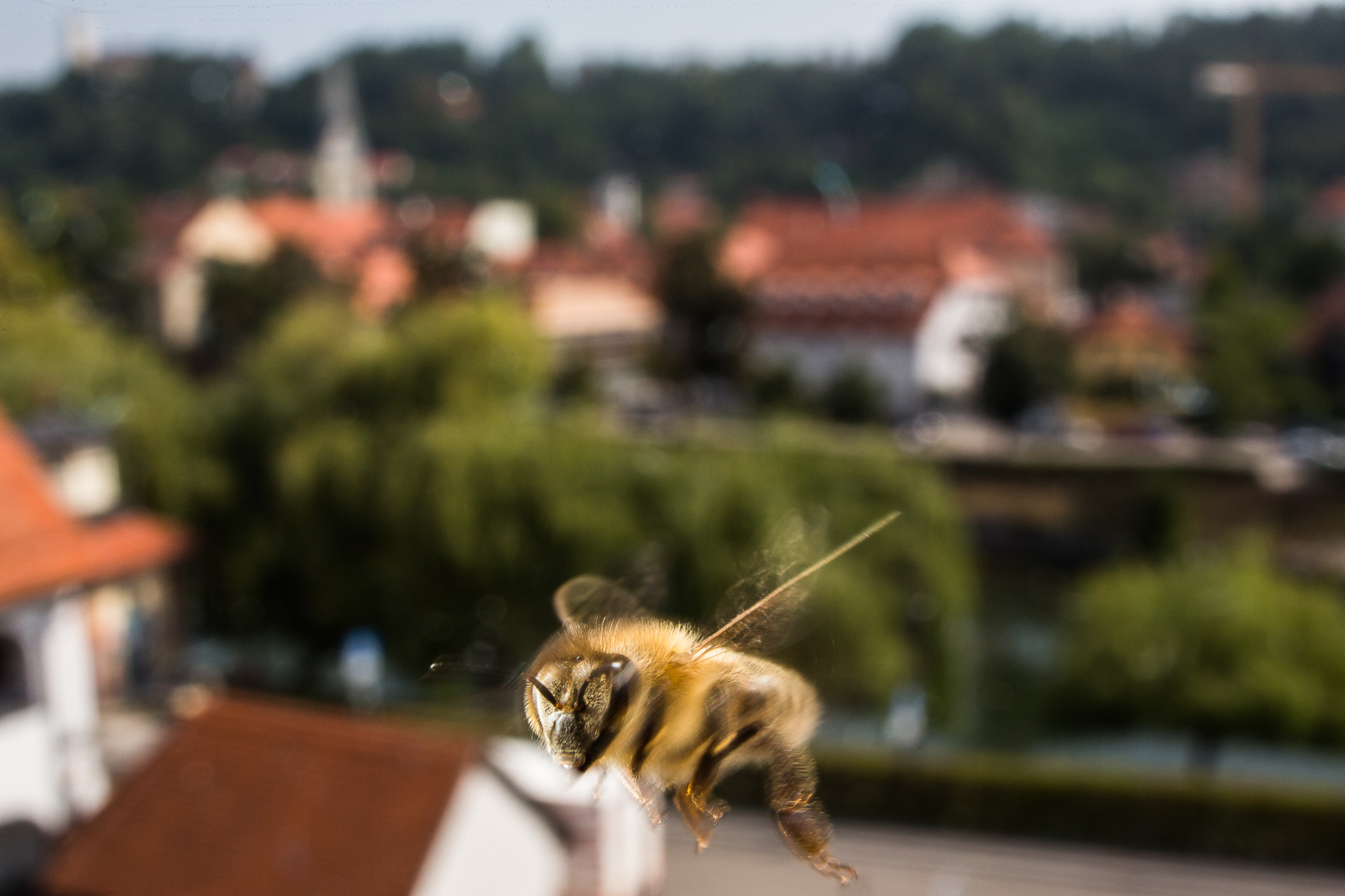 A bee in flight over the city center of Ljubljana, where they have enough pasture in a 3 km radius from anywhere in the city. Most bees cannot fly for food much further than 3 km.