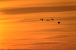 (Ardea alba)Sunset over the 10000 IslandsImage No: 15-003729 Click HERE to Add to Cart