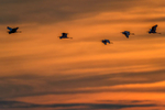 (Ardea alba)Sunset over the 10000 IslandsImage No: 15-003768 Click HERE to Add to Cart