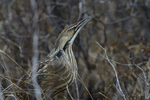 Manitoba, Canada(Botaurus lentiginosus)Image No: 17-014466  Click HERE to Add to Cart