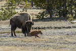 Wyoming(Bison bison)Image No: 17-007632 Click HERE to Add to Cart