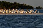 10,000 Islands, Florida(Pelecanus erythrorhynchos)Image No: 15-003900  Click HERE to Add to Cart
