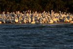 10,000 Islands, Florida(Pelecanus erythrorhynchos)Image No: 15-003901  Click HERE to Add to Cart