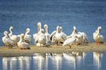 Sanibel Island, Florida, USA(Pelicanus erythrorhynchos) Image No: 14-008888  Click HERE to Add to Cart