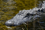 Florida(Alligator mississippiensis)Image No: 13-008601 Click HERE to Add to Cart