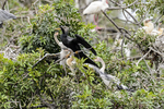 Venice, Florida(Anhinga anhinga)Image No: 13-010321Click HERE to Add to Cart