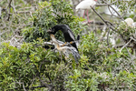 Venice, Florida(Anhinga anhinga)Image No: 13-010322 Click HERE to Add to Cart