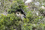 Venice, Florida(Anhinga anhinga)Image No: 13-010325  Click HERE to Add to Cart