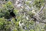 Venice, Florida, USA(Anhinga anhinga) Image No: 13-010383  Click HERE to Add to Cart