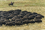 South Dakota50th Annual Buffalo Round-up(Bison bison)Image No. 15-042724  Click HERE to Add to Cart