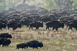 South Dakota50th Annual Buffalo Round-up(Bison bison)Image No. 15-043020  Click HERE to Add to Cart