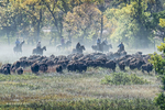 South Dakota50th Annual Buffalo Round-up(Bison bison)Image No. 15-043255  Click HERE to Add to Cart