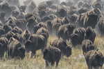 South Dakota50th Annual Buffalo Round-up(Bison bison)Image No. 15-043553  Click HERE to Add to Cart