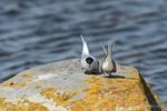 Hudson Bay, Manitoba, Canada(Sterna paradisaea)Image No: 13-026256  Click HERE to Add to Cart