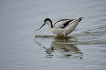 Suffolk, England(Recurvirostra avocetta)Image No: 16-019357 Click HERE to Add to Cart