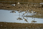 Suffolk, England(Recurvirostra avocetta)Image No: 16-DSC2563 Click HERE to Add to Cart