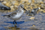 Manitoba, Canada(Calidris bairdii)Image No: 17-014775   Click HERE to Add to Cart