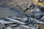 Manitoba, Canada(Calidris bairdii)Image No: 17-014788   Click HERE to Add to Cart