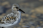 Manitoba, Canada(Calidris bairdii)Image No: 17-014793   Click HERE to Add to Cart