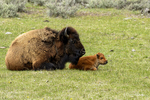Wyoming(Bison bison)Image No: 18-012256  Click HERE to Add to Cart