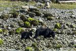British Columbia, Canada(Ursus americanus)Image No: 18-016776   Click HERE to Add to Cart