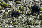 British Columbia, Canada(Ursus americanus)Image No: 18-016795   Click HERE to Add to Cart
