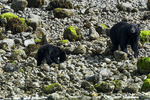 British Columbia, Canada(Ursus americanus)Image No: 18-016796   Click HERE to Add to Cart
