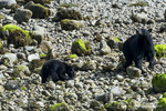 British Columbia, Canada(Ursus americanus)Image No: 18-0167978   Click HERE to Add to Cart