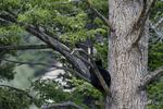 Wyoming(Ursus americanus)Image No: 18-012036 Click HERE to Add to Cart
