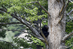 Wyoming(Ursus americanus)Image No: 18-012106  Click HERE to Add to Cart